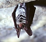 Bechstein's bat hanging in cave