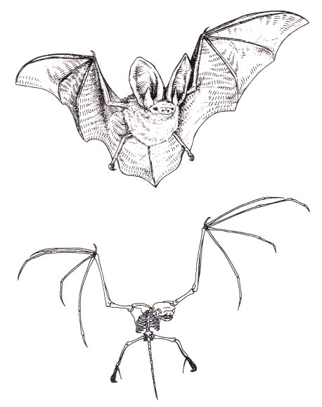 bat and its skeleton