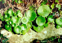 wall pennywort